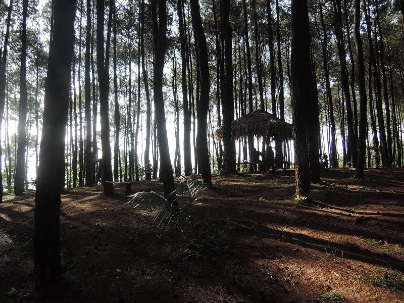 hutan pinus1
