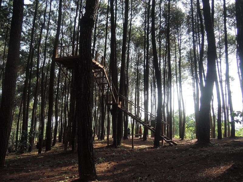hutan pinus3