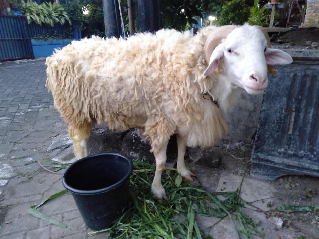 イスラム犠牲祭の羊
